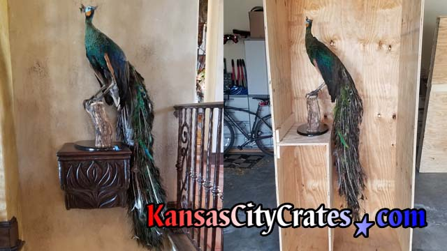 Split image of Peacock over stairwell and in cpecial built crate for relocation