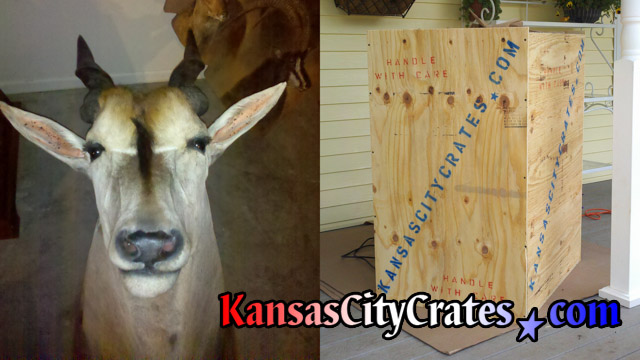 Crating Impala head and horns in solid wall wood crate for moving.