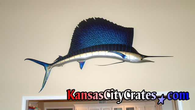 Large Sailfish, also mistaken as a Swordfish or Marlin, hanging in home before mounting in solid wall wood crate.