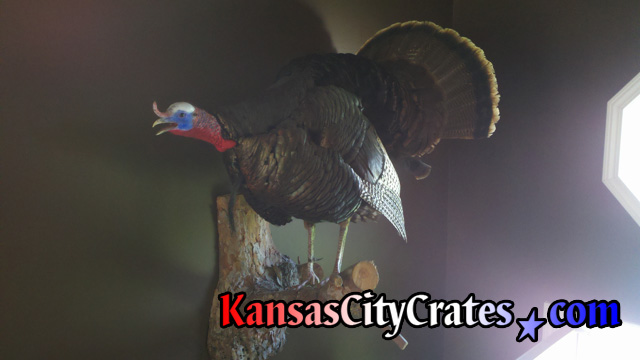 Wild Turkey taxidermy on tree branch for solid wall wood export crate.