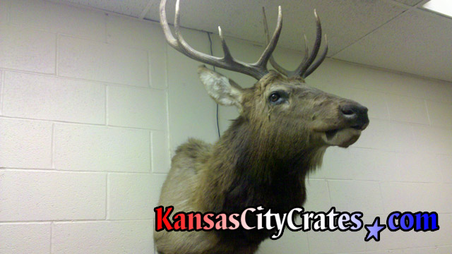 Removing Elk from wall for solid wall wood crate to ship at office in Kansas City MO 64105