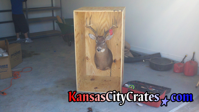 Front view of 8 point buck mounted in solid wall wooden crate before lid is attached.