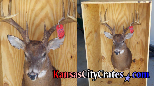 2 views of deer head mounted in wooden crate with appropiate space above antlers for safe shipping.
