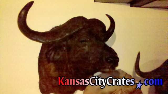 Buffalo head and horns for solid wall wooden crate.