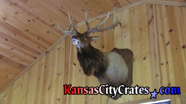 Large Elk on wall in hunting cabin before removal to pack in wood crate.