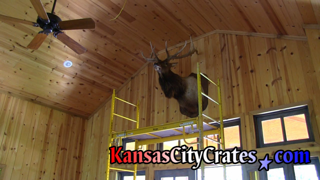 Trophy taxidermy mounted high on wall in hunting cabin.
