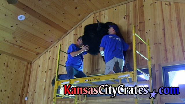 Removing large Bison head from top of hunting cabin wall.
